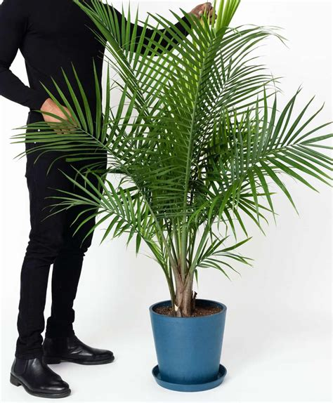 Join the Waitlist - Bloomscape   Majesty palm, Indoor