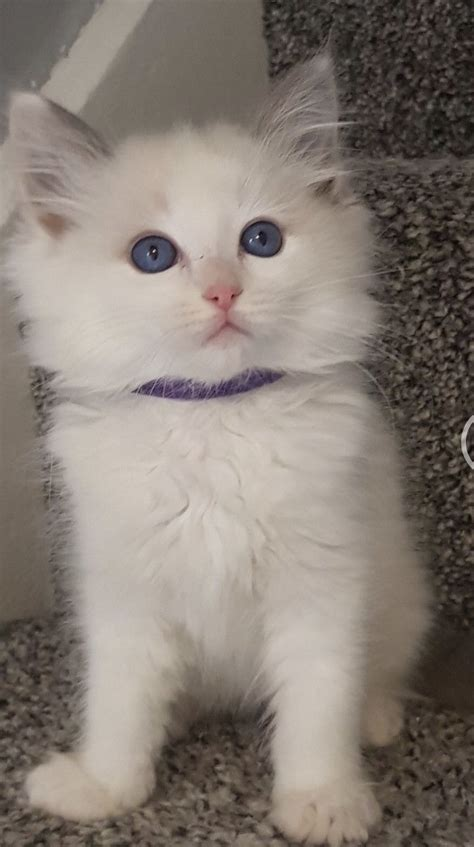 Beautiful Ragdoll kittens available for their new homes