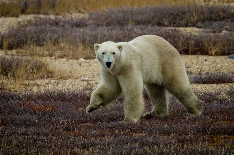 Polar Bears Discover New Food Source In Fight For Survival
